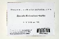 Russula dissimulans image