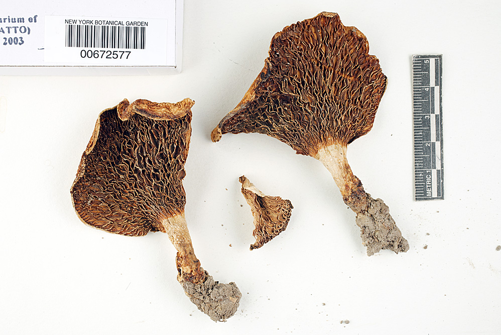 Multifurca ochricompacta image