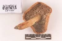 Russula mutabilis image