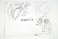 Russula viridioculata image