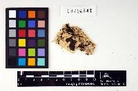 Image of Irpex microdon