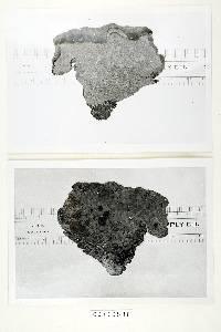 Amauroderma conjunctum image