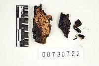 Anomoporia bombycina image