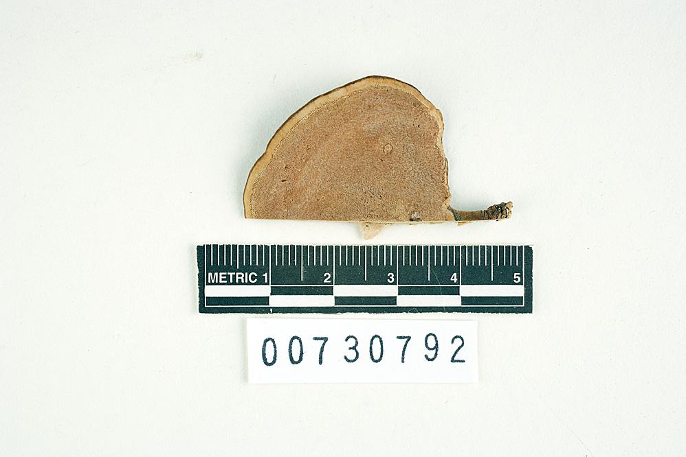 Polyporus lugubris image