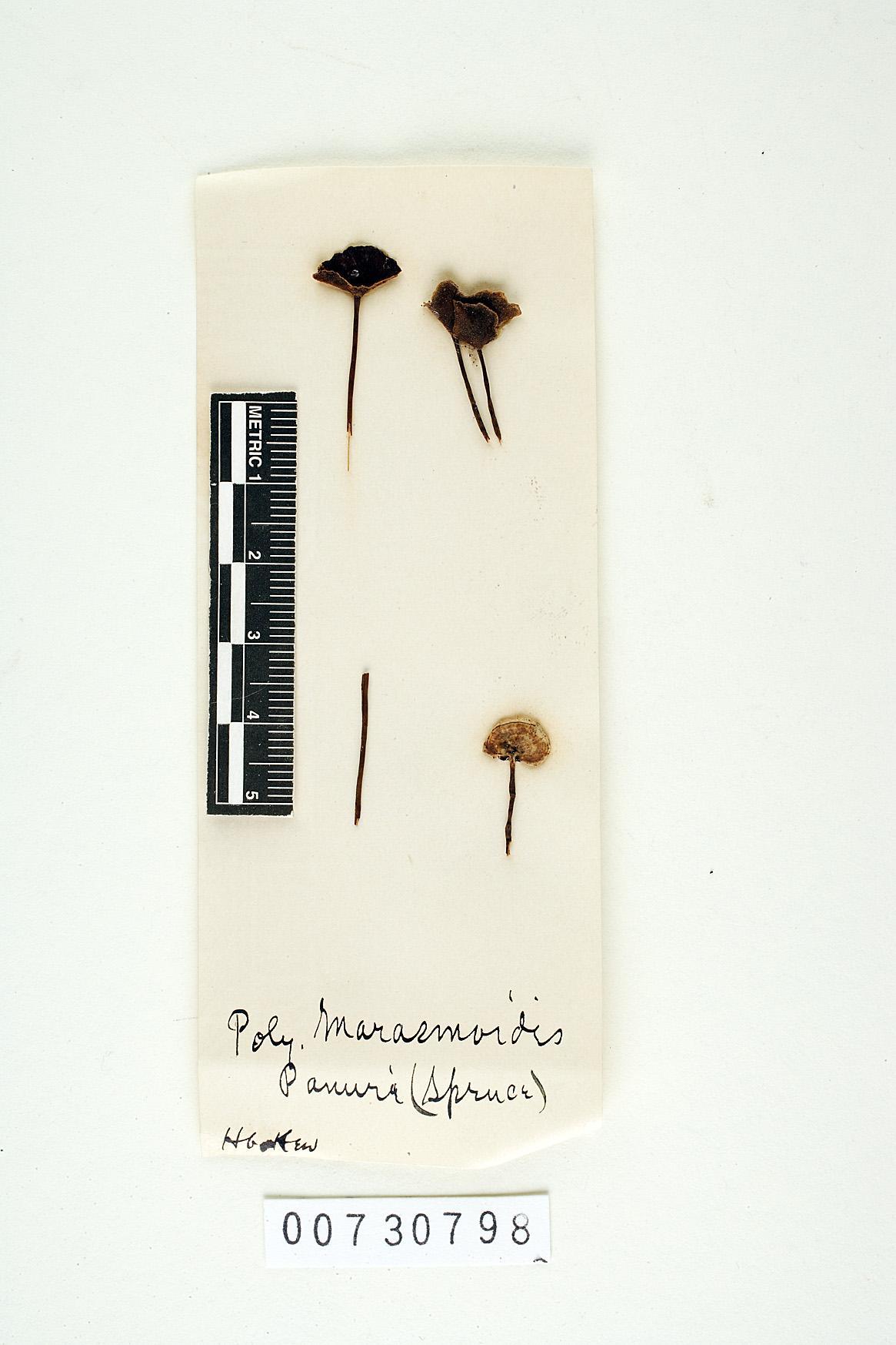 Polyporus marasmioides image