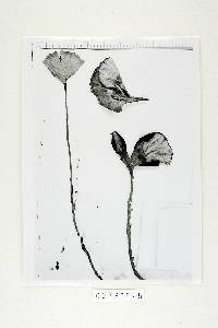 Amauroderma exile image