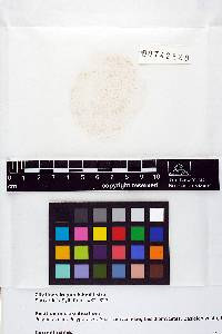 Ceriporiopsis gilvescens image