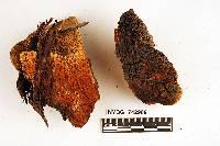 Pyrofomes demidoffii image
