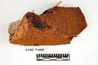 Phellinus robiniae image