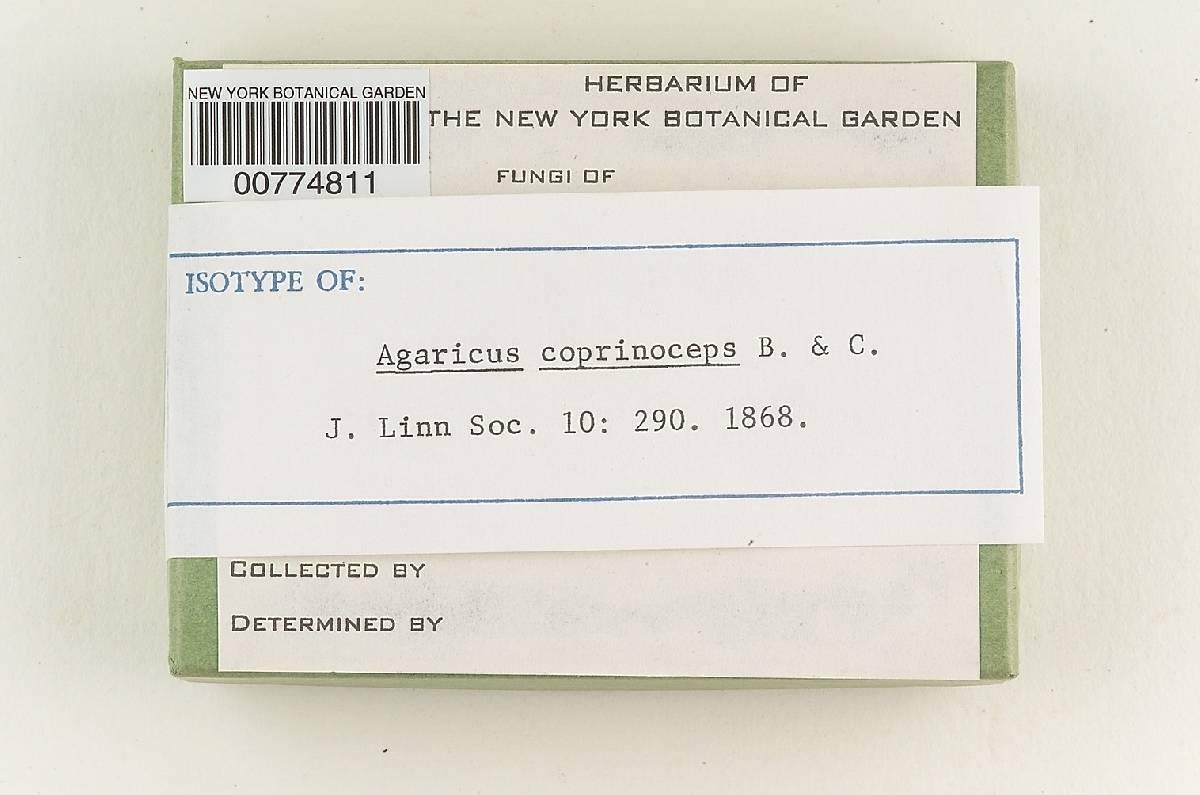 Agaricus coprinoceps image
