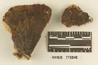 Hydnellum rickerii image