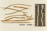 Thanatephorus cucumeris image