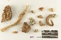 Melanoleuca californica image