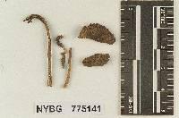 Hydropus scabripes image