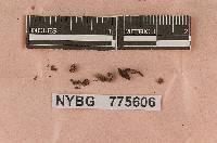 Crinipellis alnicola image