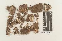 Image of Fuscoporella corruscans