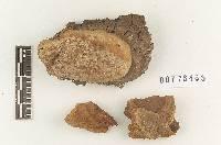 Image of Fomitiporia dryophila