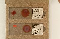 Hysterangium darkeri image