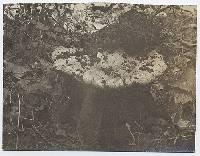 Hebeloma californicum image