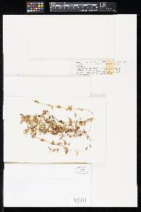 Pseudocercospora borreriae image