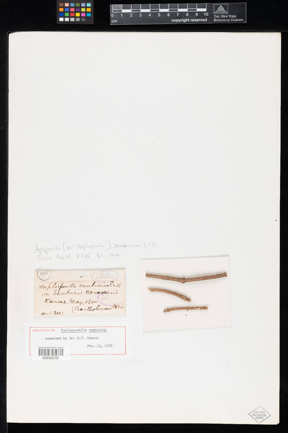 Aplosporella sambucina image