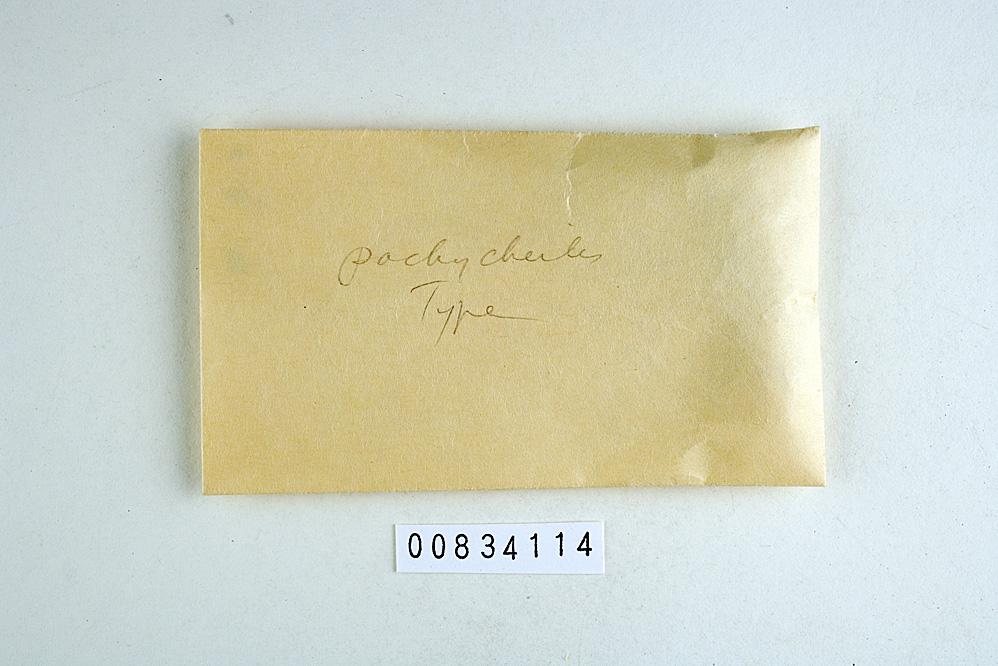 Antrodiella pachycheiles image