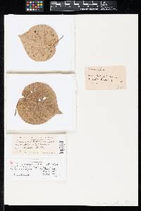 Cercospora hibiscina image