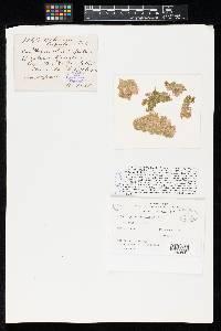 Septoria lupulina image