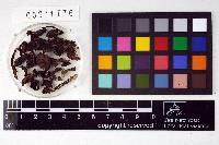 Leptonia perfusca image