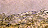 Entoloma clypeatum image