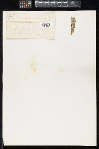 Myriangium tuberculans image