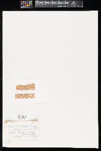 Image of Lophodermium ginzbergeri
