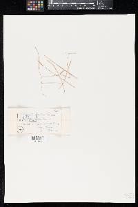 Image of Didymella hierochloes