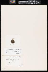 Image of Humaria stellata