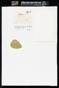 Didymaria fulva image