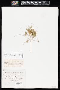Cercospora euphorbiicola image