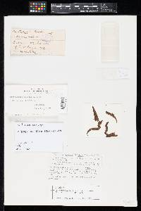 Pestalotia bicolor image