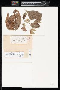 Ovularia maclurae image