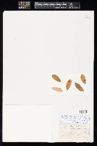 Ovularia rhamnigena image