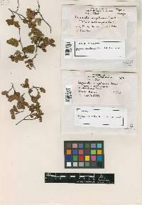 Image of Uncinula magellanica