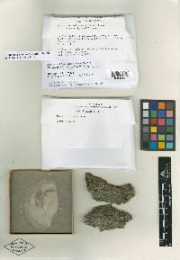 Bionectria compactiuscula image