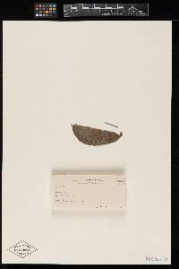Image of Meliola rhamnicola