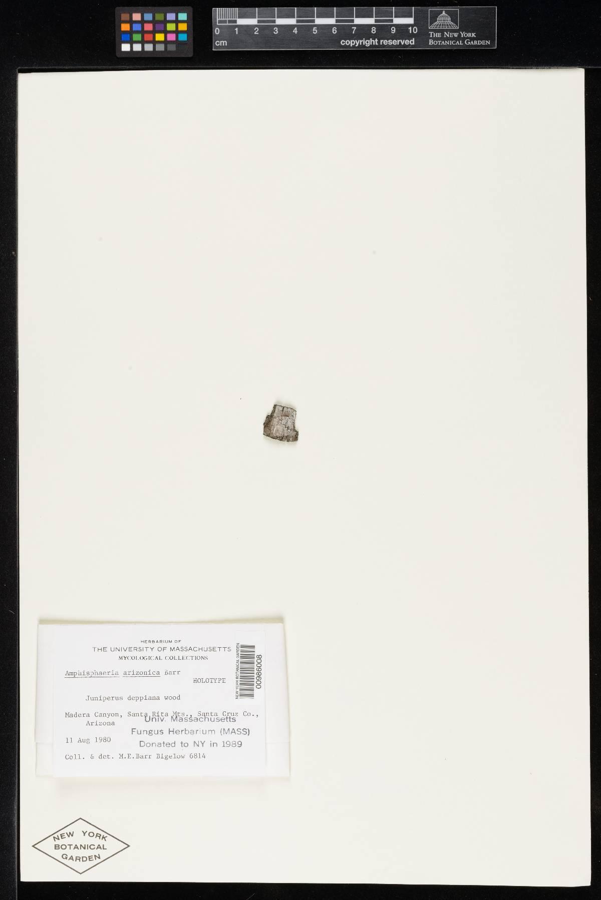 Amphisphaeria arizonica image