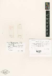 Image of Nectriella ptychospermatis