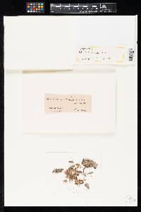 Helicomyces louisianensis image