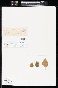Image of Ramularia acalyphae