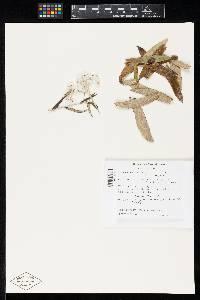 Image of Ramularia anaphalidicola