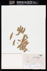 Ramularia nephrolepidis image