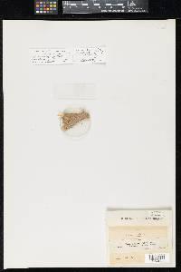 Image of Massaria fuckelii