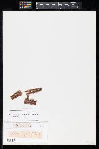 Image of Stegonsporium irregulare